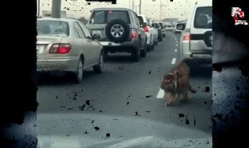 That One Time a Tiger Got Loose on the Streets of Qatar