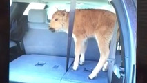 Tourists put bison calf in their SUV, cause animal to be euthanized