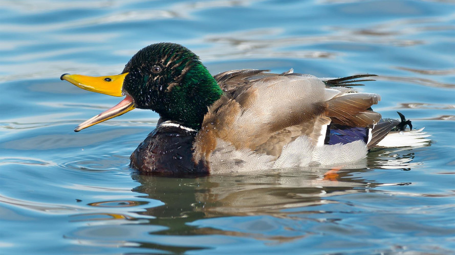 Quack! Quack! Research Shows Car Horns Should Sound Like Ducks