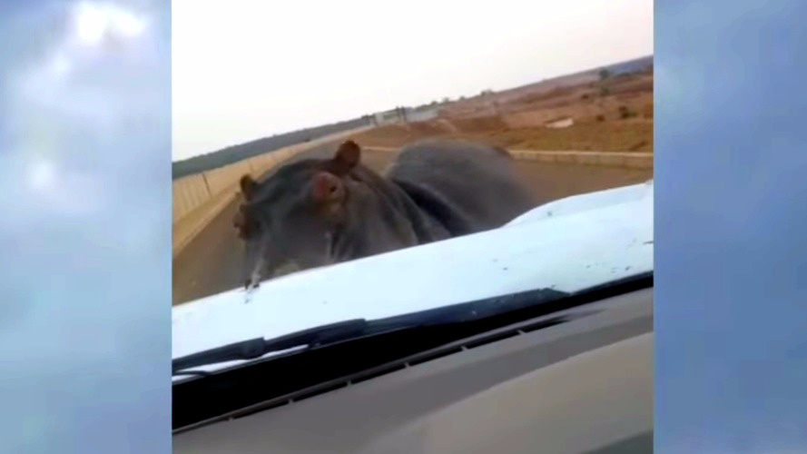 Enraged hippo charges pickup truck